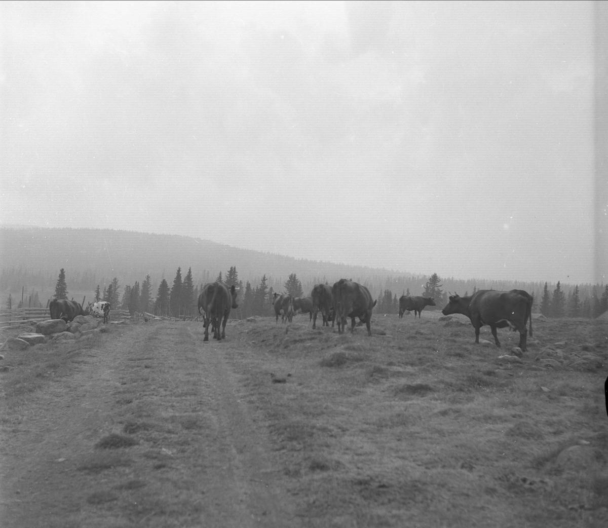 Ringsaker, Hedmark, 20.08.1955. Kuer på beite.