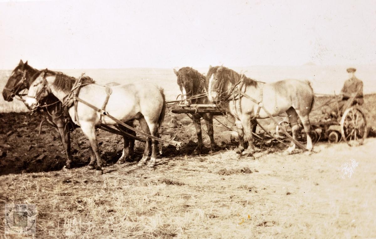 Gårdsarbeid med 4-spann hester i USA.
