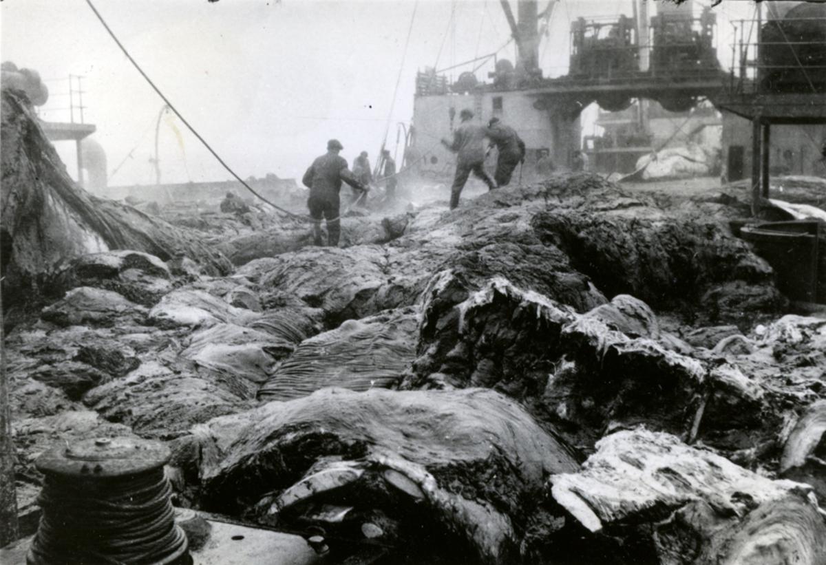Hauger av kjøtt. - Ombord i Fl/K ' Vestfold' (b. 1931, Furness Shipbuilding Co. Ltd, Haverton Hill).