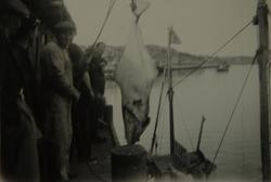 Menn med stor fisk på kai