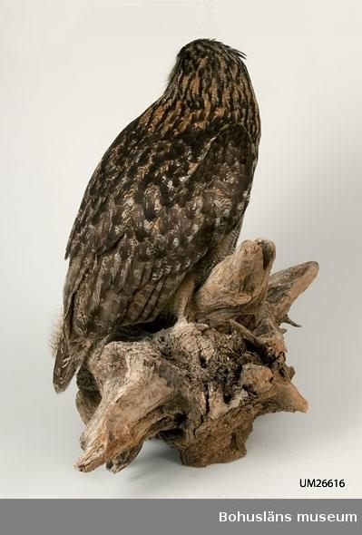 Berguv, hona. Öga: 20 mm i diameter. Dödad mot kraftledning vid Nösund, Orust, Bohuslän, den 17 mars 1996. Tillhörde kronans vilt. Museet fick tillstånd av Naturvårdsverket att behålla fågeln. Beslut 1996-05-09 Dnr 370-1915-96 Nv.