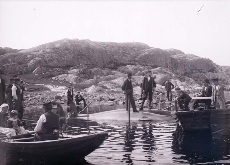 Två döda valar som bärgats i Brofjorden.