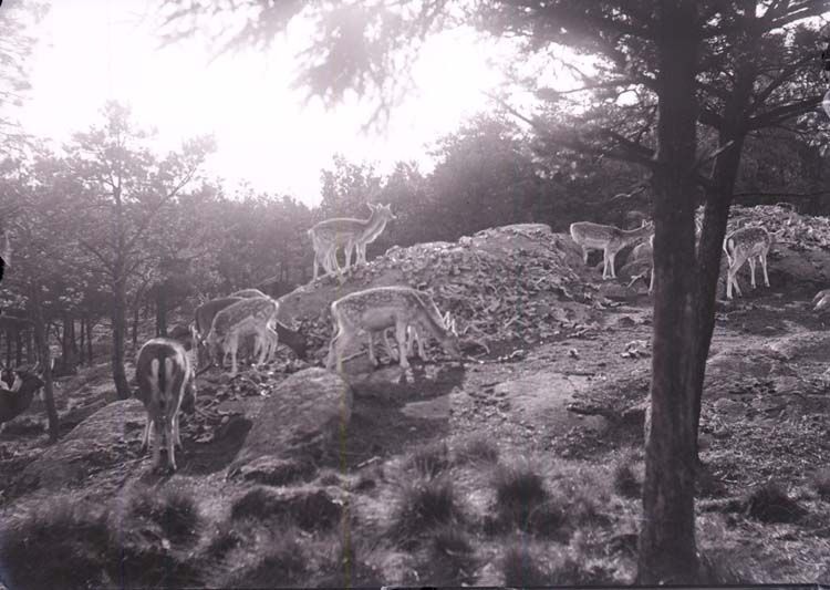 """Enligt text som medföljde bilden: """"Göteborg. Kronhjort i Slottskogen. Okt. 1904."""""""