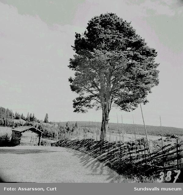Ensam kvar av storskogen. Tall på åker i Häljom.