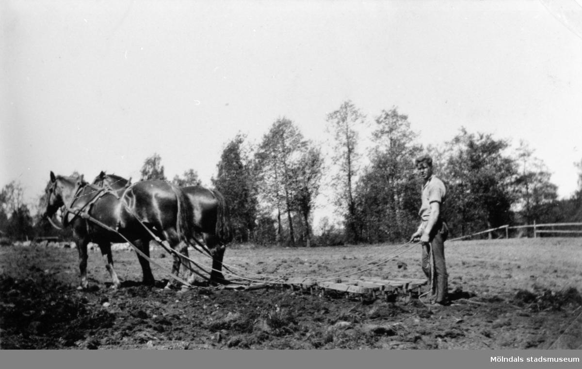 Sven Olsson i Bäck, harvar med parhästar, 1930.