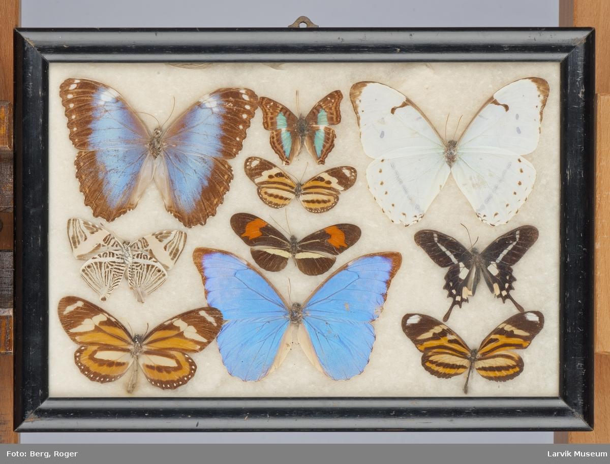 Sommerfugler i glass og ramme øverst til venstre Morpho violacea øverst til høyre Morpho catearius catearius i midten nederst Morpho menelaus guyanenasis i midten en Heliconius beskei
