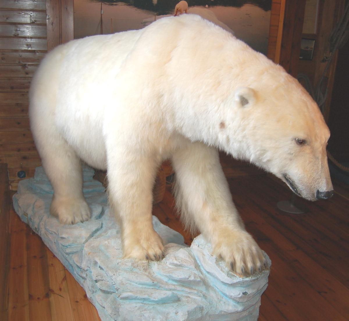 Isbjørnen er utstoppet i gående profil, montert på en sokkel illustrert som eit isflak.