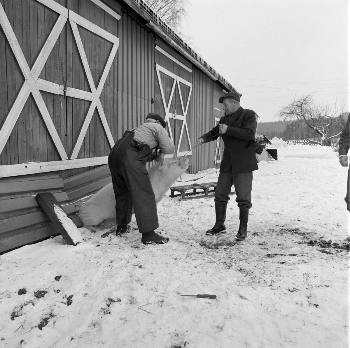 Dokumentasjon av griseslakting i 1977, på Lunde i Gaupen, Ringsaker. Bygdeslakter. Slakteren slår på slaktemaska som ligger mot panna til grisen, med slaghammer.  Bygdeslakter Johs. Rosenborg.