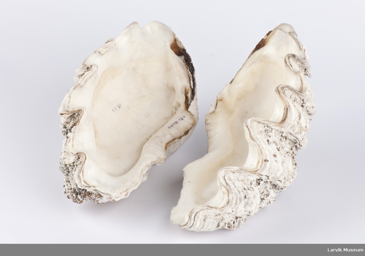 2 stk. skall/koraller, kjempemusling Tridacna. Utbredelse Kinesiske-, Indiske-, Rødehavet og Stillehavet