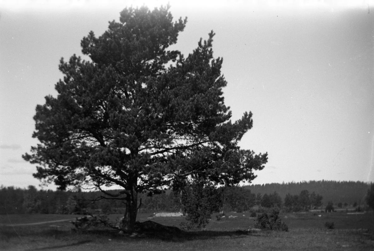 En tall växer på en äng med skogen i bakgrunden.