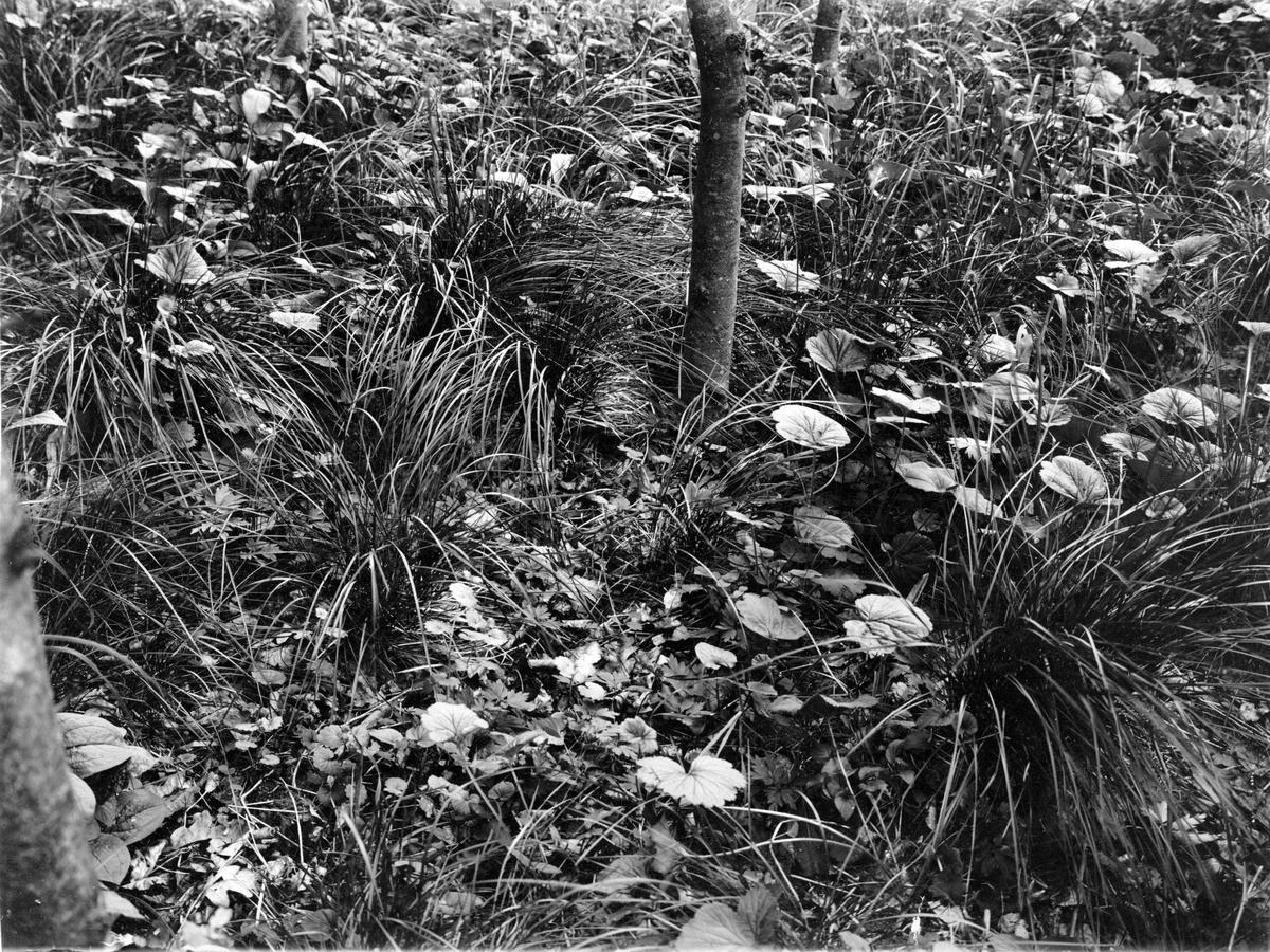 Bo  av  grönsångare  (Phylloscopus sibilatrix ) 9 juni 1910