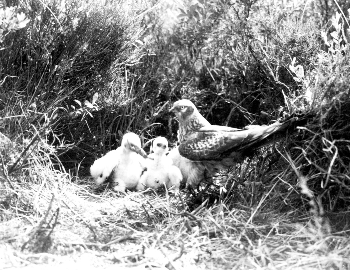 Ängshök(Circus pygargus) hos ungar