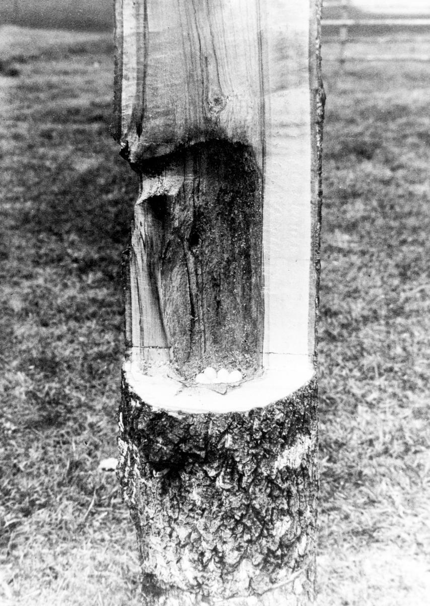 Bo av Gråspett (Picus c. canus)           22 Maj 1934