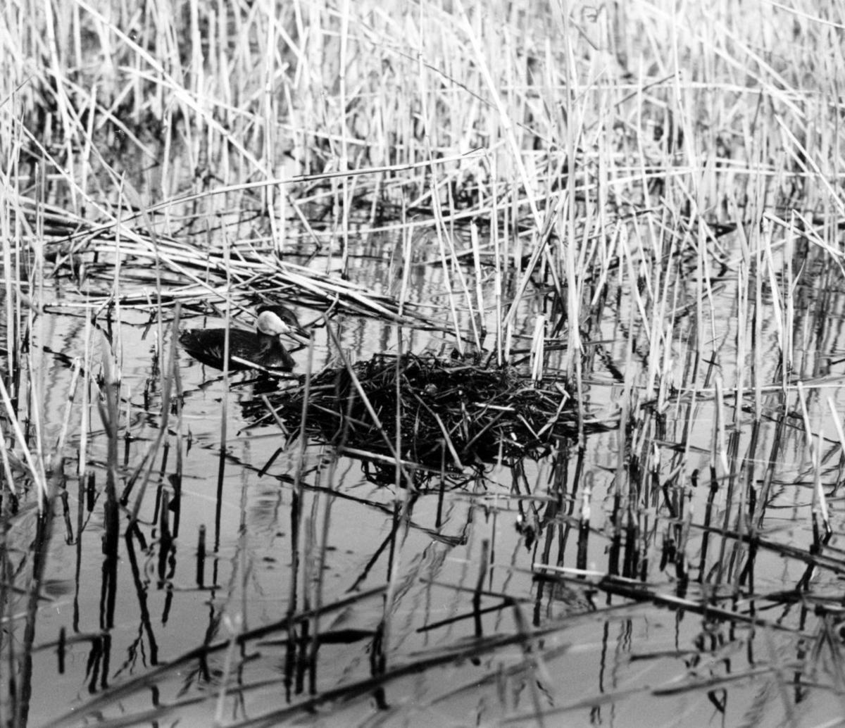 Podiceps rubricollis, rödhalsad dopping. Äntligen har han vågat komma fram till boet. Bara, Skåne 1923