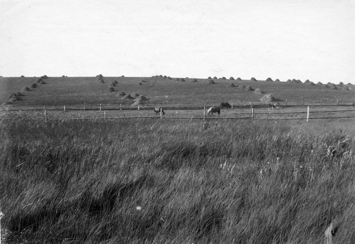 Biotop för vattenrall (Rallus aquaticus) 23 augusti 1907