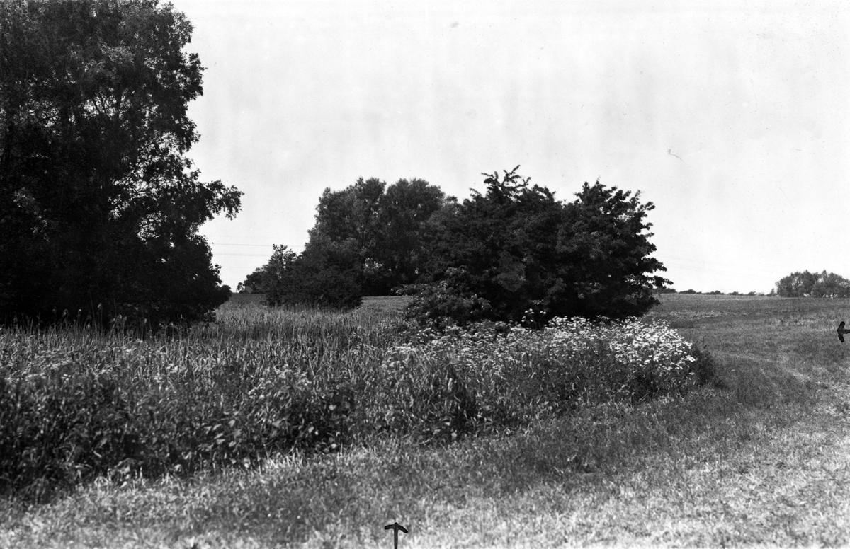 Boplats för Kärrsångare (Acrocephalus palustris)  19 Juni 1936