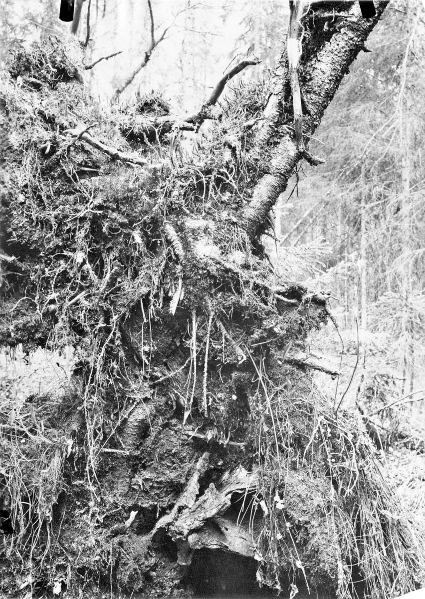 Bo av Gärdsmyg i en rotvälta av gran (i kanten av en öppen glänta i skogen utmed en bäck) Å Ovansjö kronopark Gästrikland. 17 maj 1914 (Fotografen har beskrivit på baksidan av bilden var någonstans boet finns)