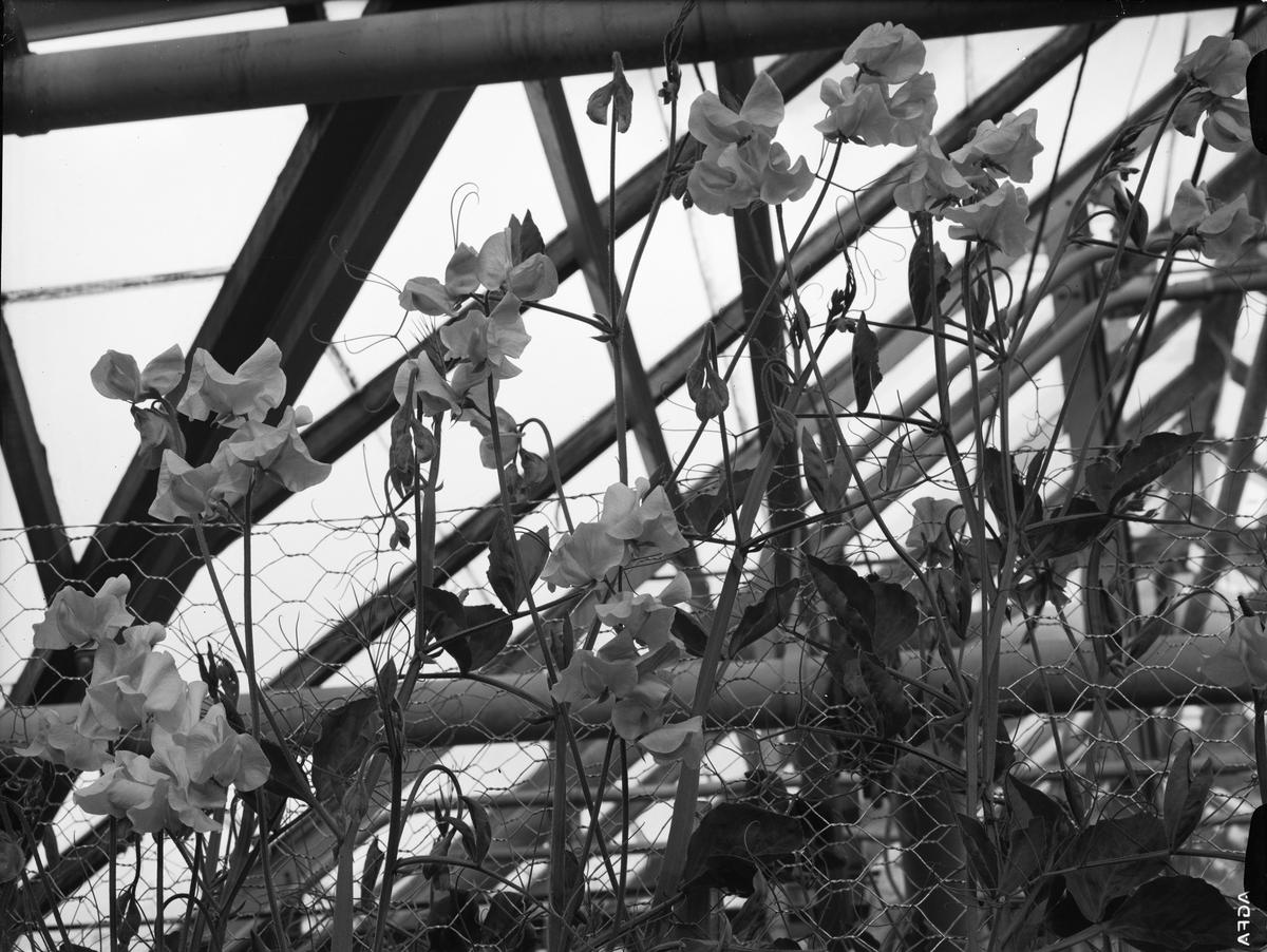 Spaljé med blommor, sannolikt Uppsala