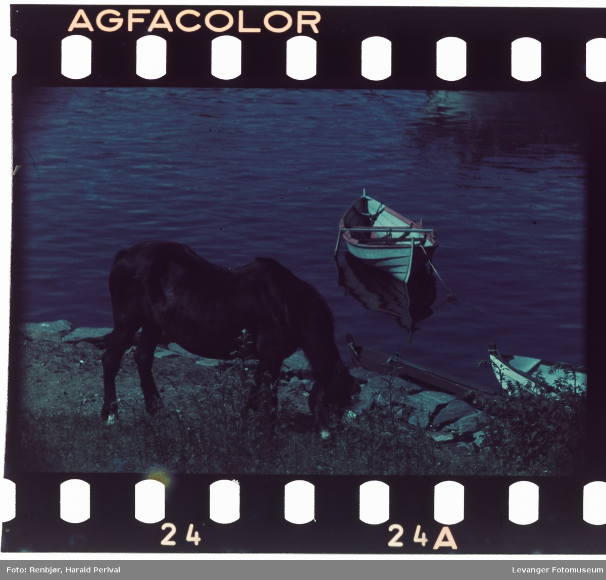 Beitende hest ved sjøen.