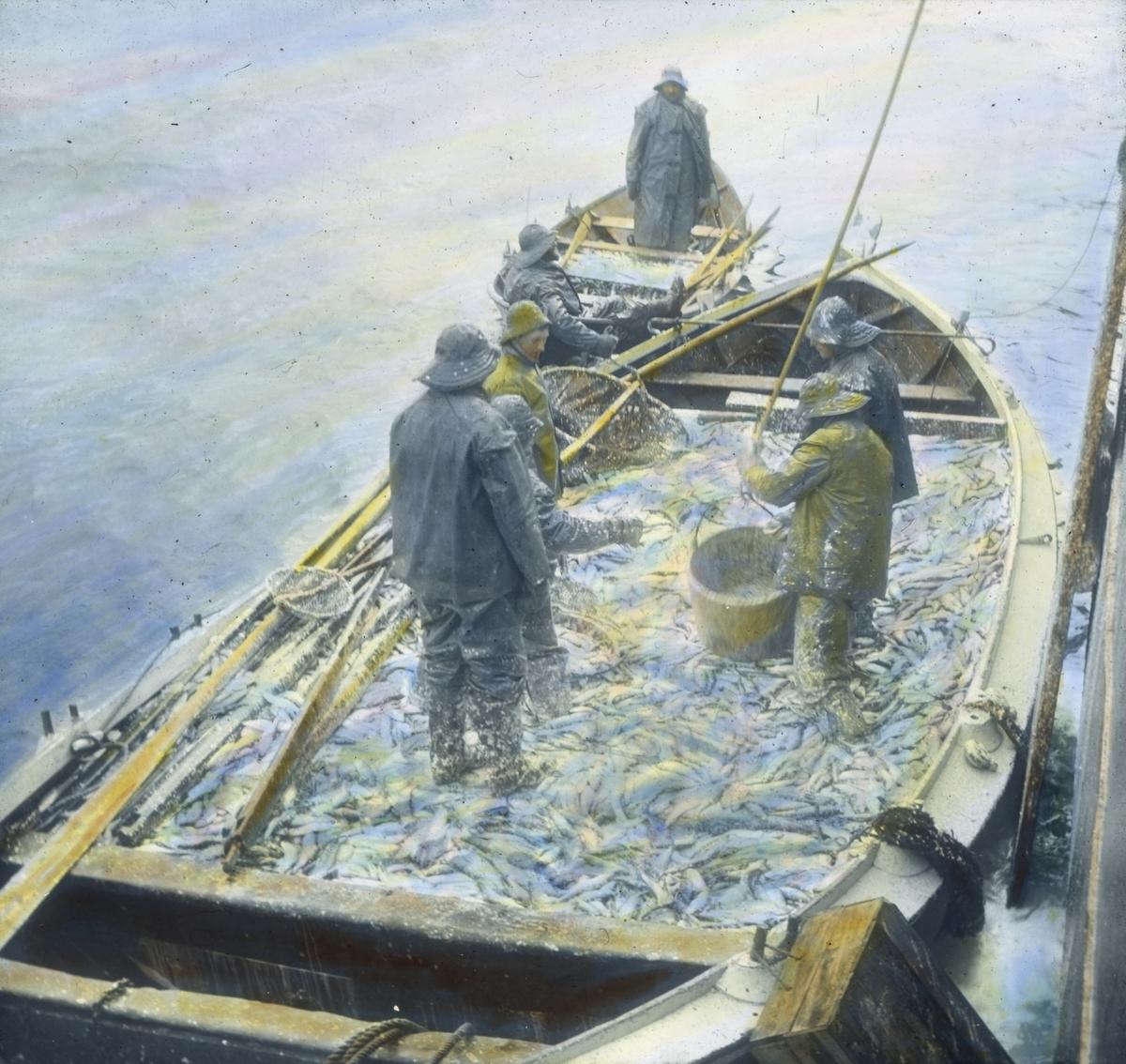 Håndkolorert dias. Fem fiskere kledd i oljehyre og sydvest står i en båt full med sild. Bak er to fiskere i en mindre robåt, også den full av sild.