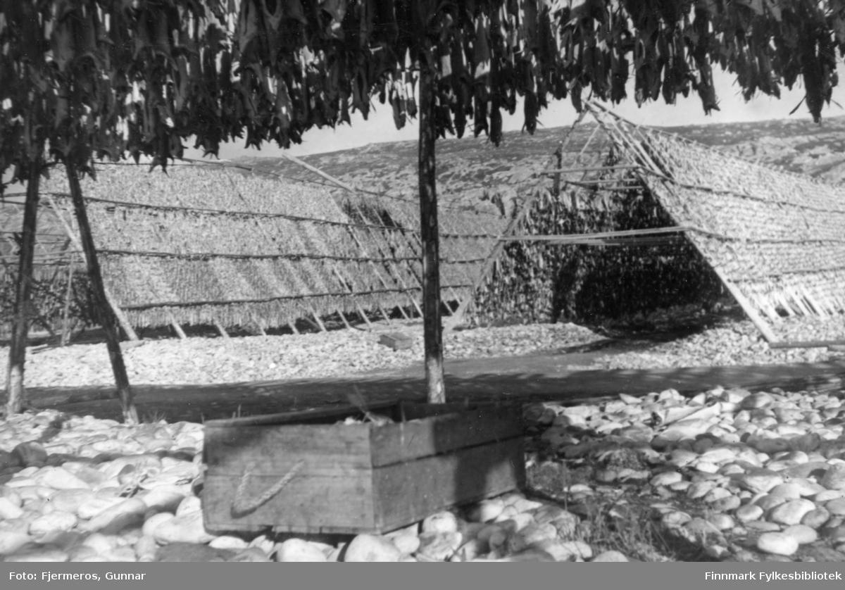 To store fiskehjeller er full av sei som henger til tørk våren 1948 og fotografen står under en tredje.