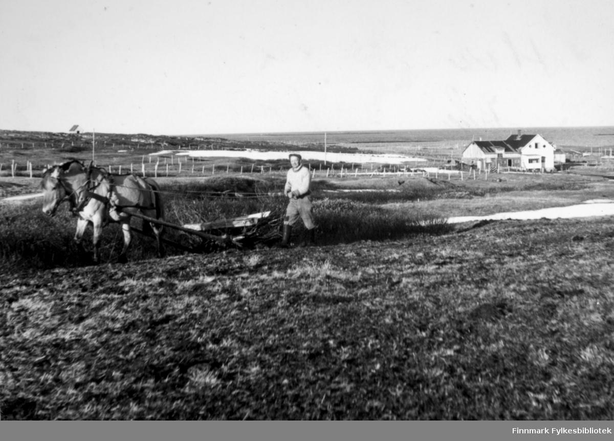 Albert Mikkelsen sloger. Når frau og tare er utkjørt på jordet, brukes redskapet til å finfordele frau/tare ned i jorda. Hesten heter Friggen. Bildet er tatt på 50-tallet i Kramvik.