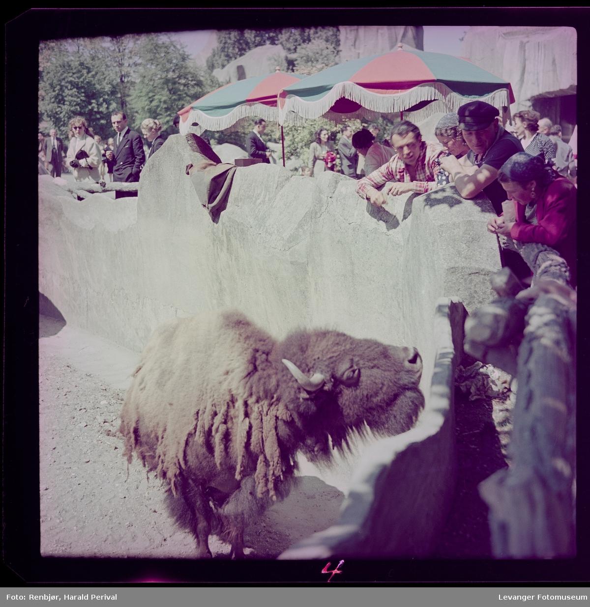 Bison i zoo i Paris.
