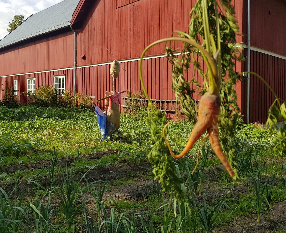 Grønnsaksåker med fugleskremsel og gulrot, Trøndelagstunet Norsk Folkemuseum