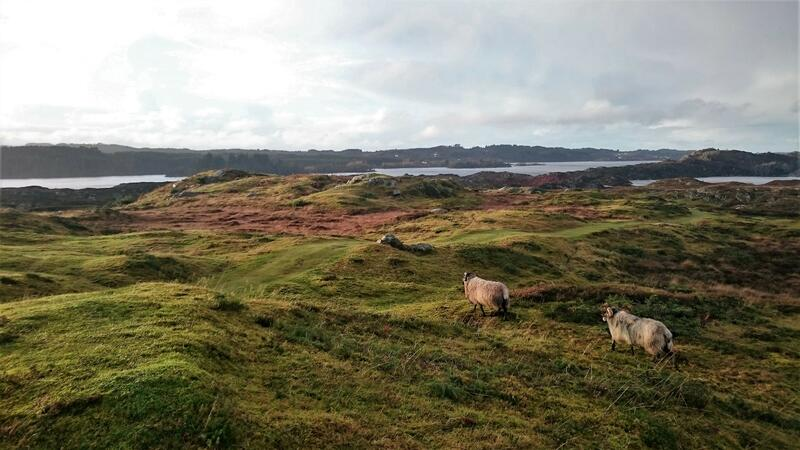sau i kystlandskap (Foto/Photo)