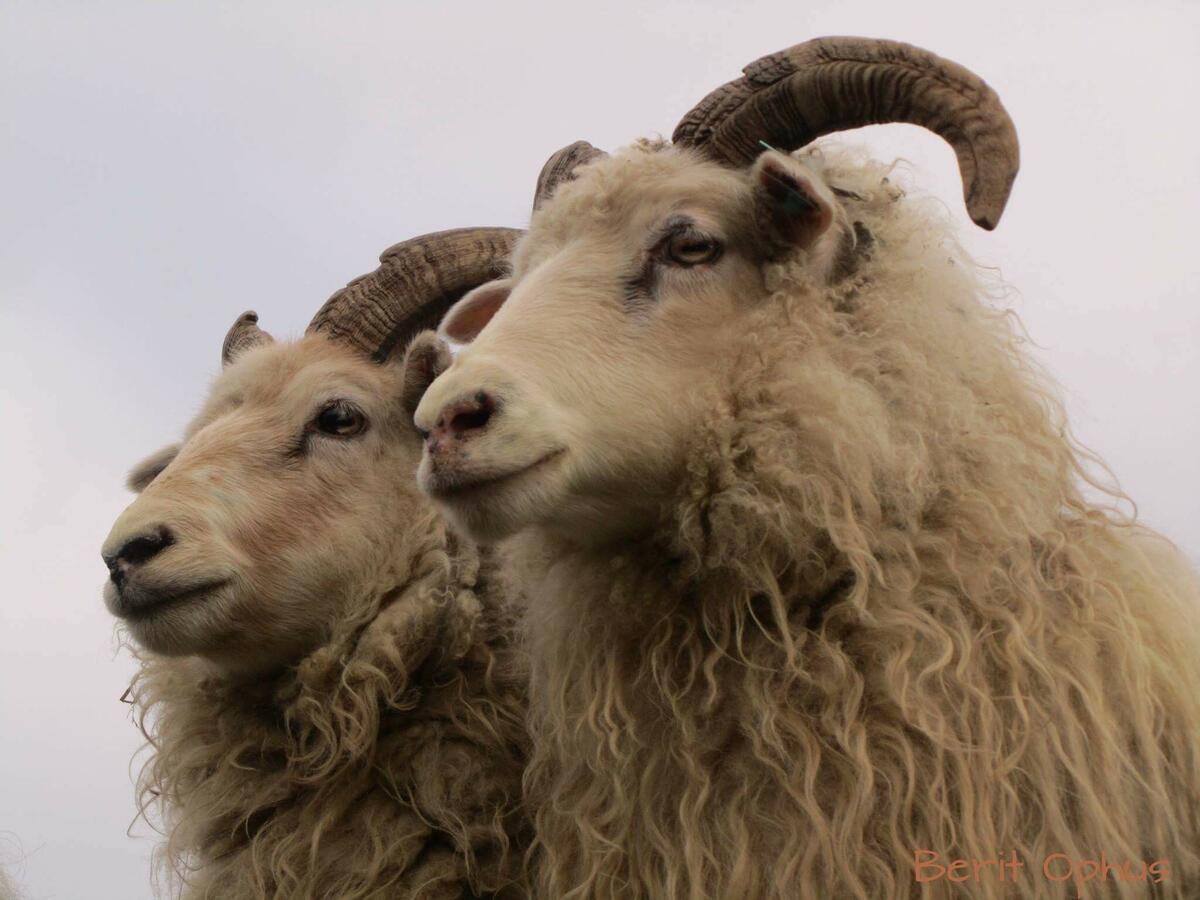 to sauar med horn (Foto/Photo)