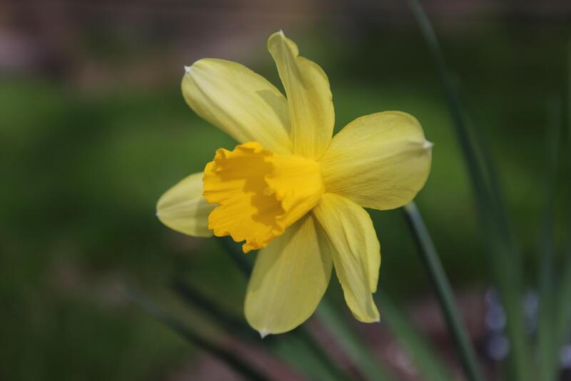 Narcissus 'Sir Watkin' (Foto/Photo)