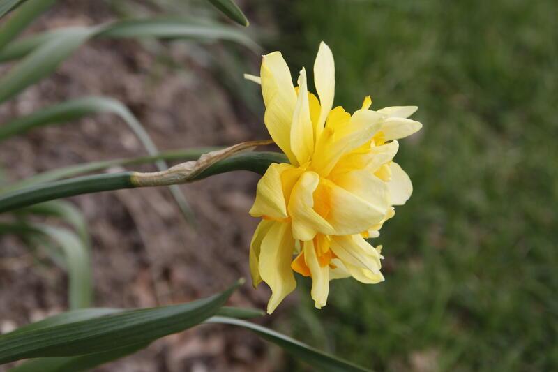 GH 2017 03 Narcissus 'Sulphur Phoenix' (Foto/Photo)