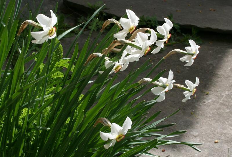 Narcissus poeticus var. recurvus (Foto/Photo)