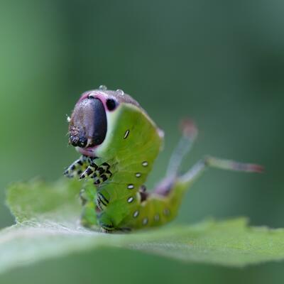 Kun til bruk i forbindelse med insektforedrag. Foto/Photo