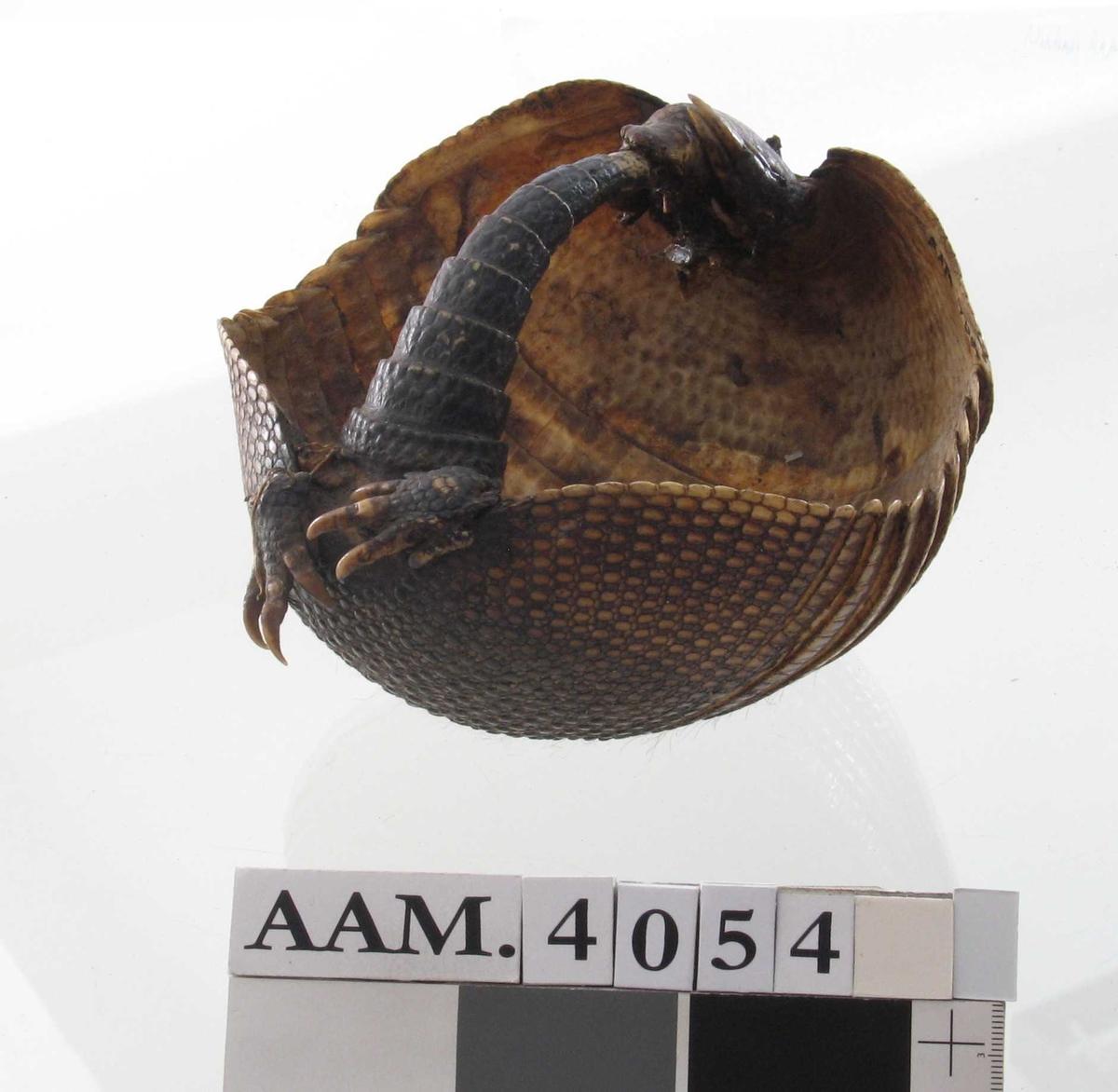 Skålformet tynt panser av   hornskjell.  Midtpartiet har tverrgående striper. Hale og hode festet  sammen,  slik at det dannes en hank. Mørk og lysere brun. Tilstand jan. 65.  : god. En av bakføttene løs, henger i tynn tråd.