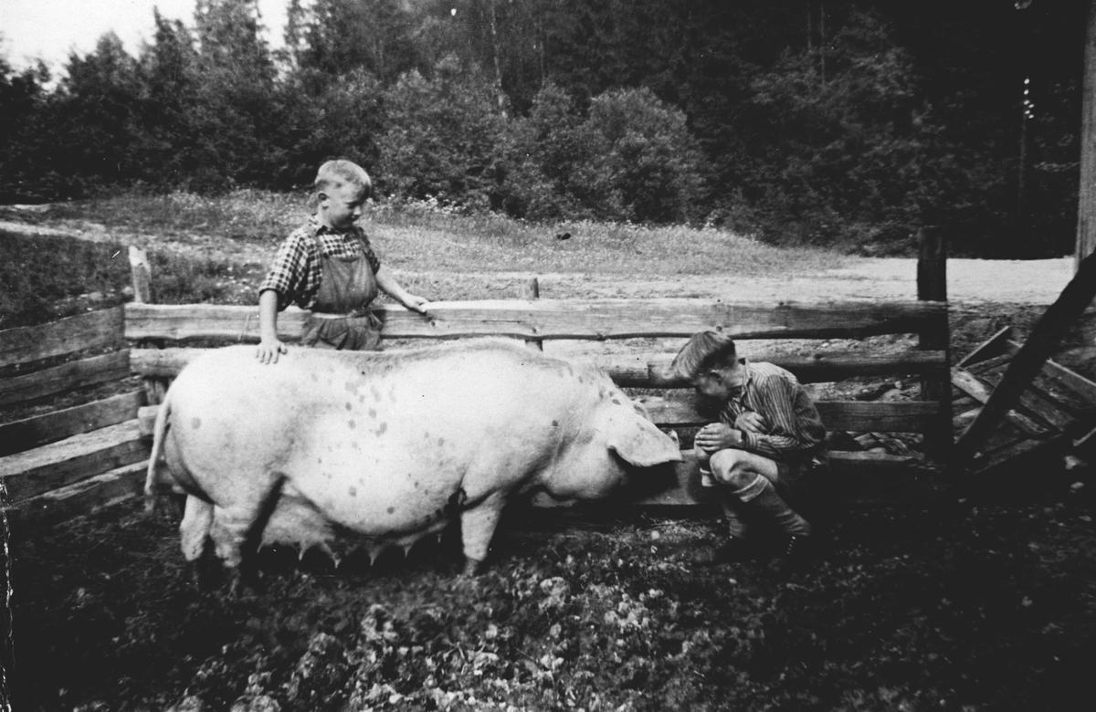 John Kristensen og Arild Kristensen i grisebingen med purka