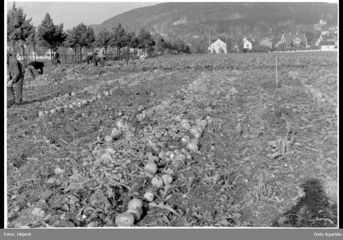 Kålrotopptaking på kommunalt dyrkingsfelt på Grefsenplatået under krigen.