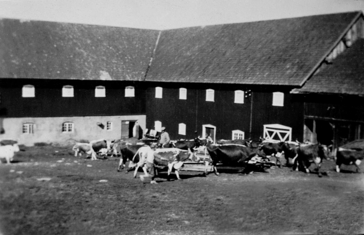 Kuslepp utenfor låven/fjøset på Mengshoel, Nes, Hedmark. Telemarksku.