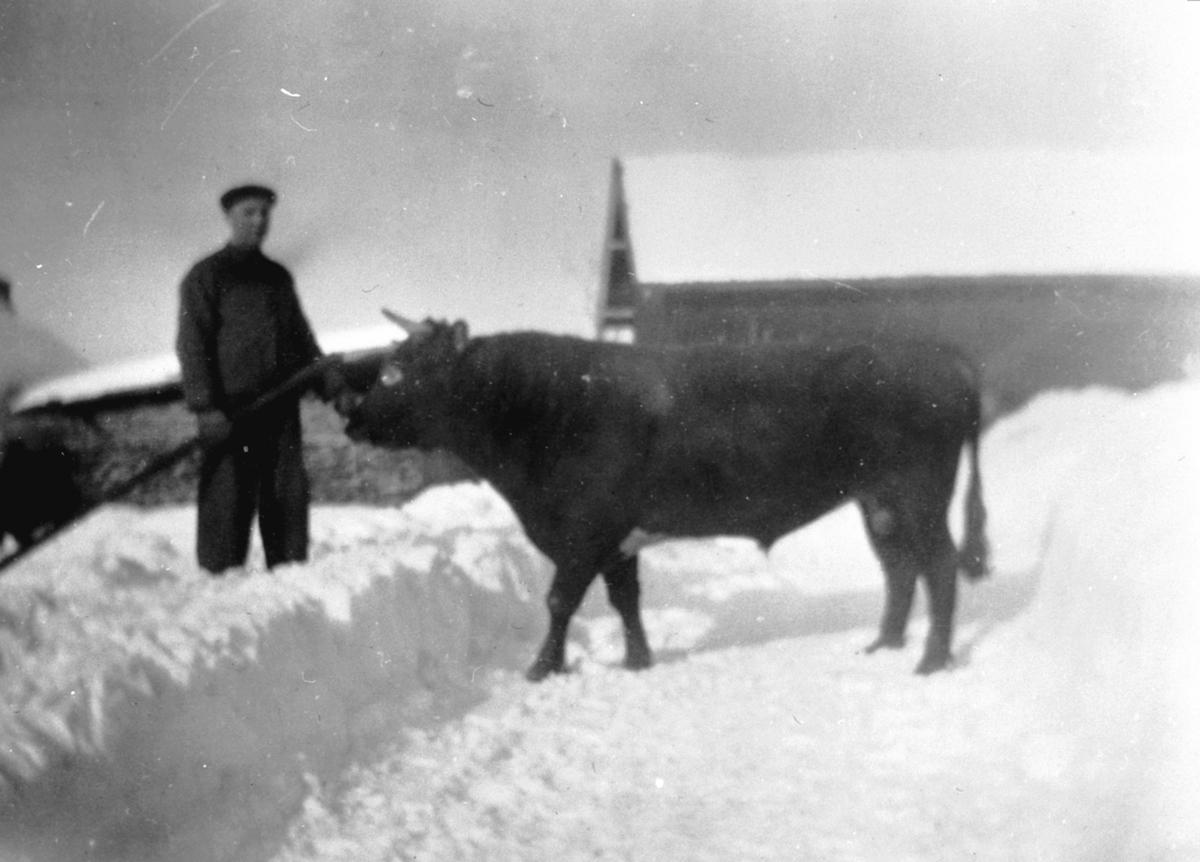 Einar Monsbakken (1902-1985) lufter storoksen på Trosterud, Helgøya. Vinter.