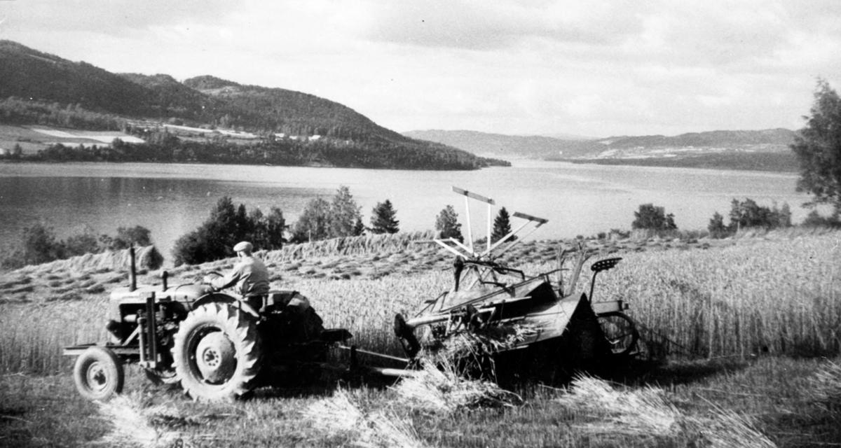 Skuronn på Heggenhaugen, Ringsaker. Traktor med sjølbinder i rugåkeren.