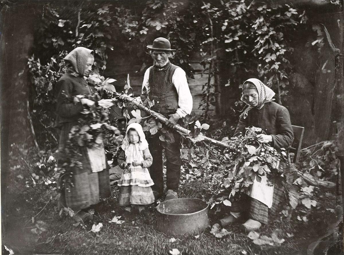 Skörd av humlekottar från en fälld humlestör. En man, två kvinnor och en liten flicka.