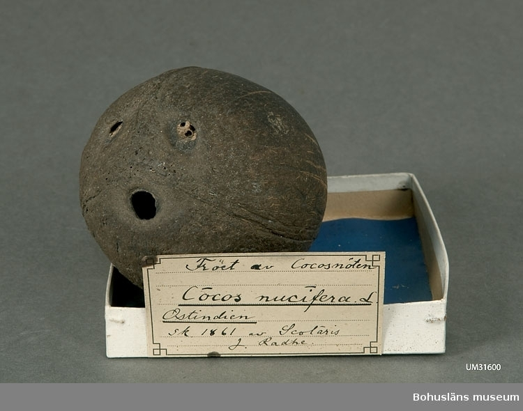 """Kokosnöten har ett centimerstort hål där kokosmjölken troligen tappats ur. Innehållet av frövita är kvar.  Kokosnöten/frukten ligger i en utställningslåda av vit kartong med ett blått glättat papper i botten som dekorativ bakgrund. Etikett med handskriven text: Fröet av Cocosnöten Cocos nucifera L. Ostindien. Sk. 1861 av Scholaris J. Radhe.  I tryckt redogörelse för verksamheten för """"Museum för Bohus Län 1861"""" står under alfabetisk förteckning över föreningens medlemmars bidrag och gåvor: Radhe, J., Lärjunge vid El.-lär.: en cocosnöt.  Föremålet har funnits okatalogiserat i museets samlingar tills år 2011."""