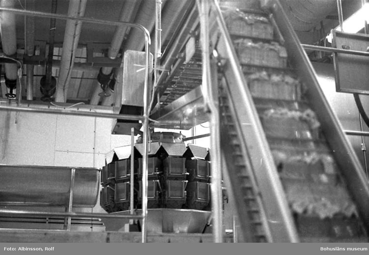 """Enligt fotografens noteringar: """"På transportbandet förs sillen upp till de automatiska vågarna.""""  Fototid: 1996-03-14.  1996-03-15"""
