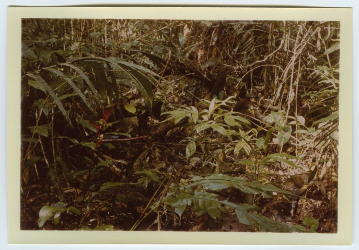 'Färgkopior efter diabilder tagna av Bengt Hubendick 1966 i  Amazonas, ett par mil norr om Manaus i Beléms botaniska trädgård och på Trinidad: ::  :: Närbil på växter och skog. Regnskog. ::  :: Ingår i serie med fotonr. 4730-4768.'
