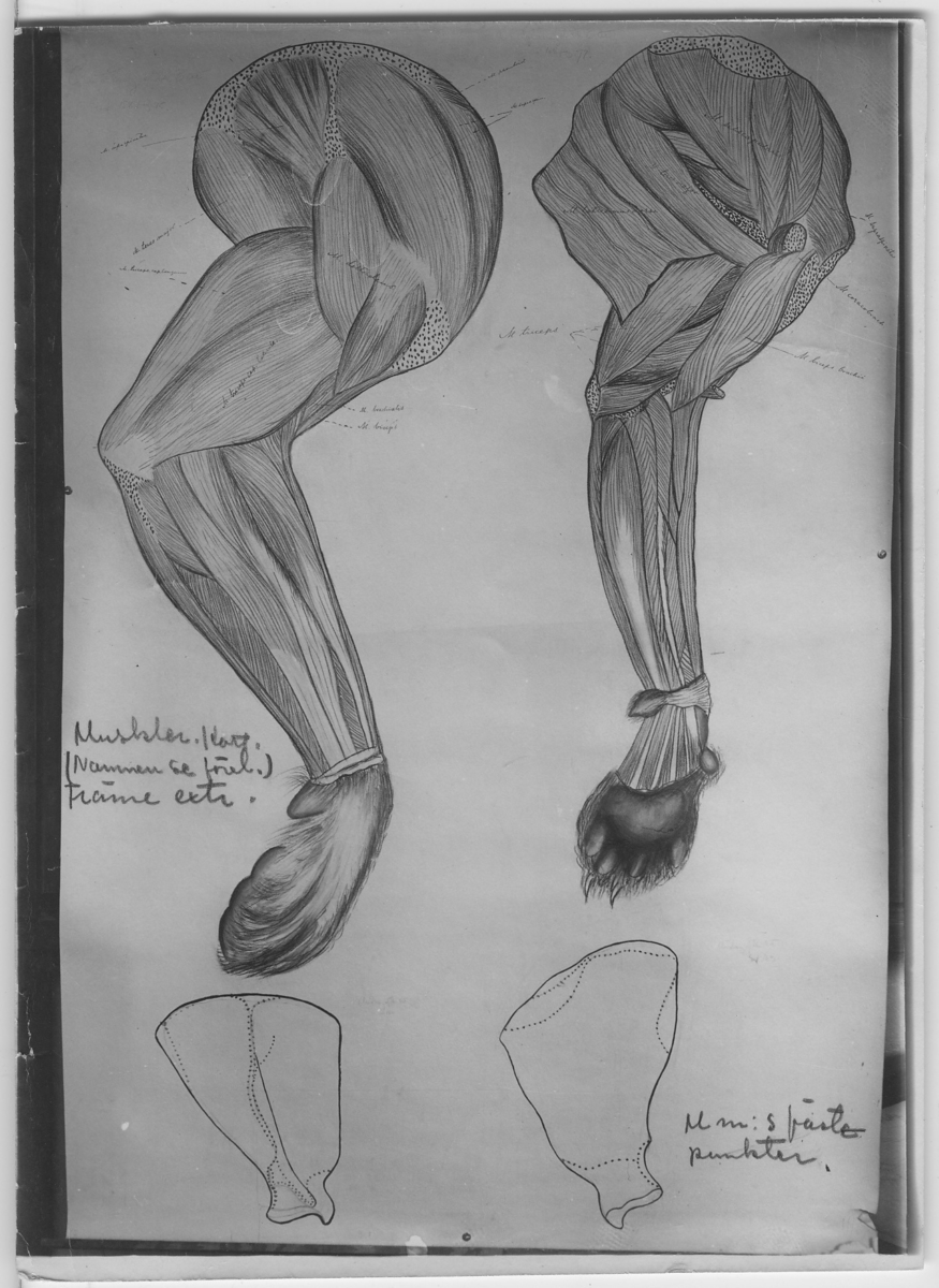 'Teckning av främre muskler hos katt. Latinska namnen på delarna utsatta. Några blyertsanteckningar på exemplaret. ::  :: ''Fotografier använda vid dissektionskursen våren 1928'' . :: Avfotograferade teckningar på skelett och organ. :: På baksidan av vissa står det Kerstin Nyblén :: V.T.-18 :: ur bok'