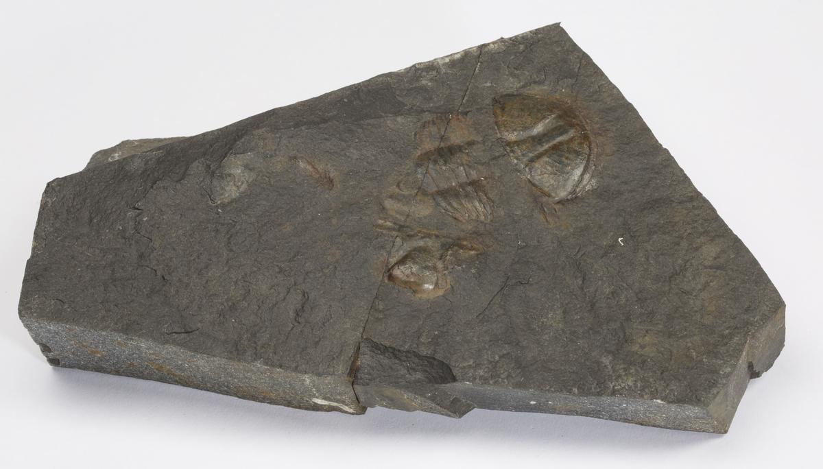 Fossil SKALLSKIFTE