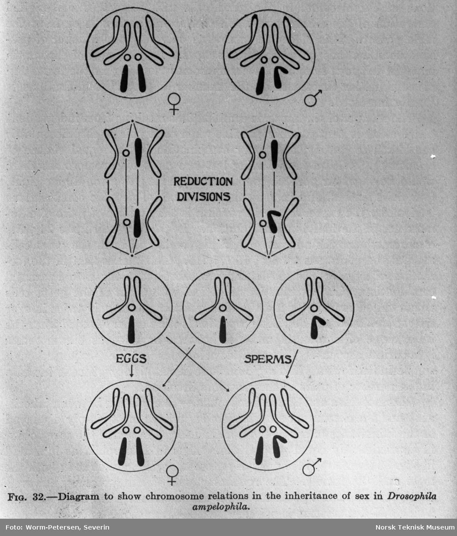 Illustrasjon, kromosom-relasjoner ved arv av kjønn
