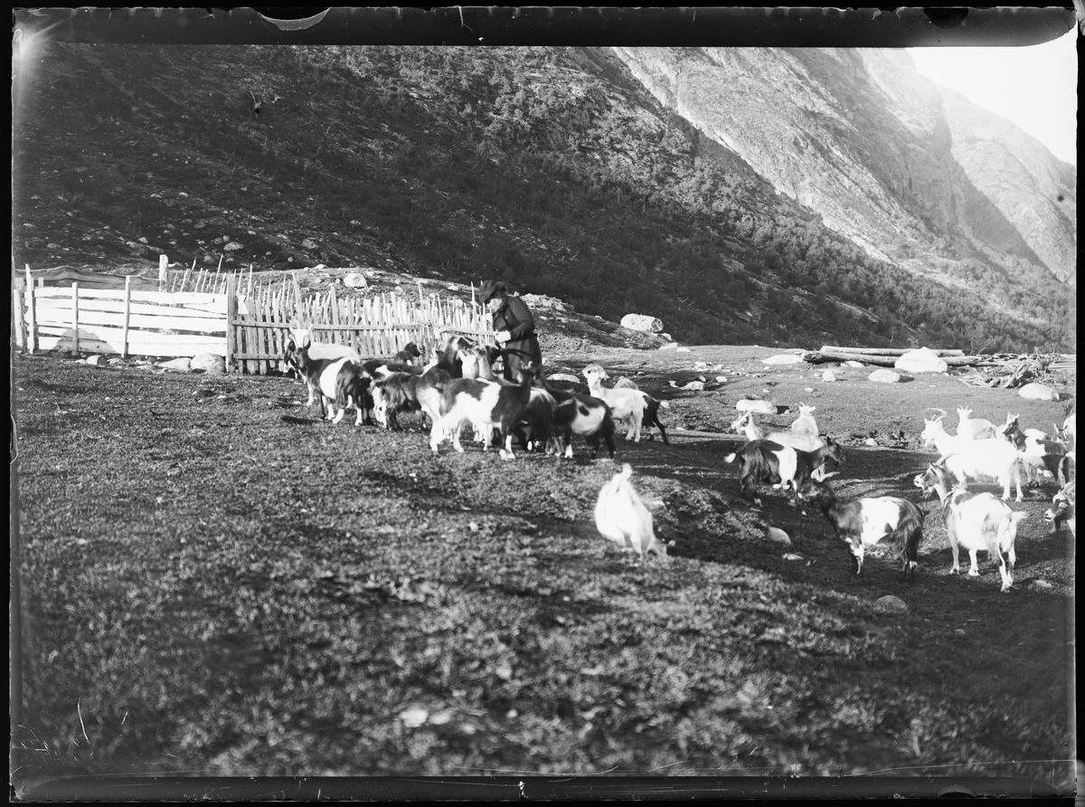 """""""Heimdalen 1906"""" (inskr eske). Fra Sjølisæter ved Atnsjøen. En dame i kjole og med hatt står blandt mange geiter på fjellet ved en skigard."""