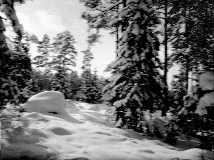 Vintermotiv, snöhöljda granar.
