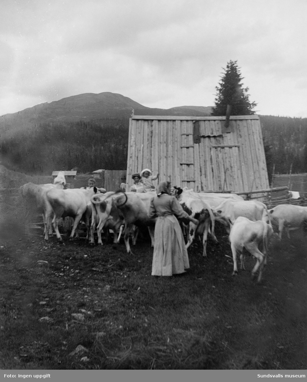 Fäbod, kvinnor och barn med kor. Okänt var.